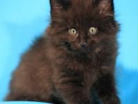 Открытие сайта FORESTCATOREL.RU - питомника кошек породы норвежская лесная в Орле